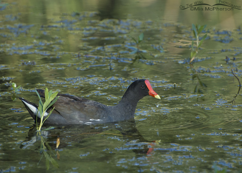 Common Gallinule at Sawgrass Lake Park
