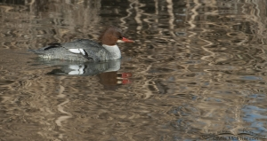 A Common Merganser keeping a watchful eye on me