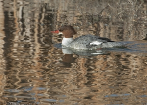 Common Merganser slowly swimming by