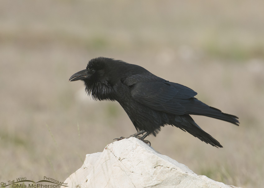 Common Raven fluffed up
