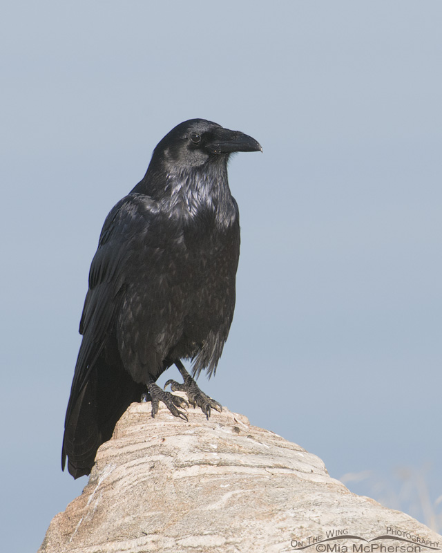 Common Raven adult on the causeway to Antelope Island