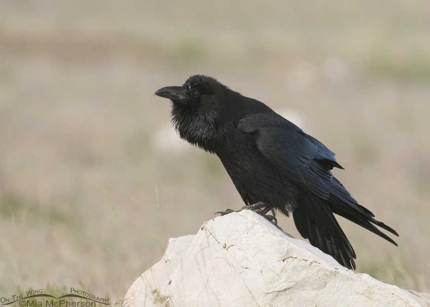 Common Raven starting to call