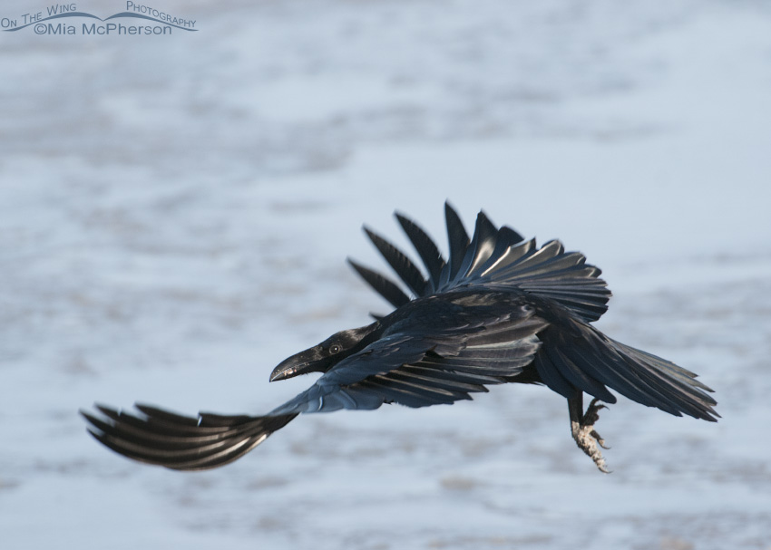 Common Raven flying over the Great Salt Lake