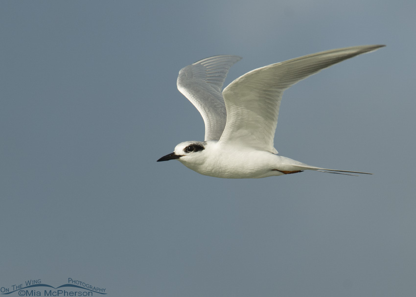 Forster's Tern in flight over the Gulf