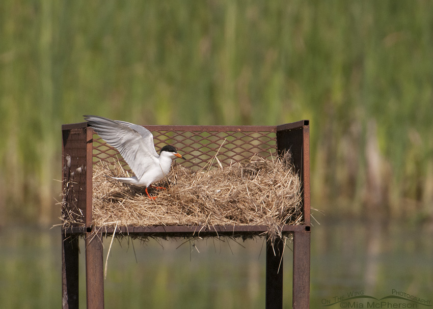 A Forster's Tern in a Canada Goose nest