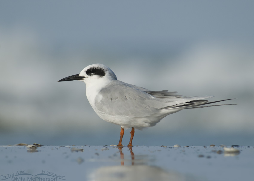 Forster's Tern on wet sand