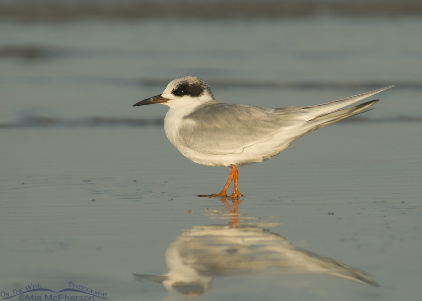 Forster's Tern in early morning light