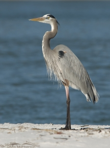 Great Blue Heron in front of the beautiful Gulf