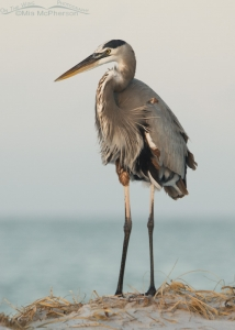 A Great Blue Heron in very early morning light