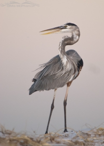 A windblown Great Blue Heron and the Earth's Shadow