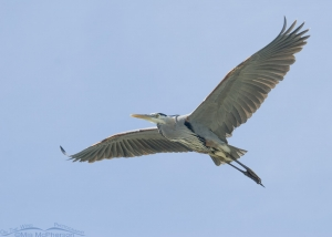 A Great Blue Heron fly over at Fort De Soto