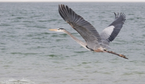 A Great Blue Heron flying towards Shell Key