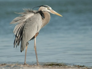 A ruffled up Great Blue Heron