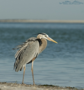Great Blue Heron and a sandbar in the distance