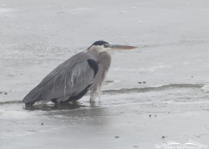 A Great Blue Heron in open water surrounded by ice