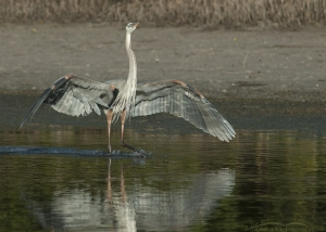 A Great Blue Heron landing in a lagoon