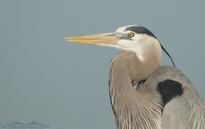 A Great Blue Heron and blue sky close up
