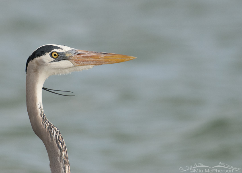 Close up Great Blue Heron on a gray day