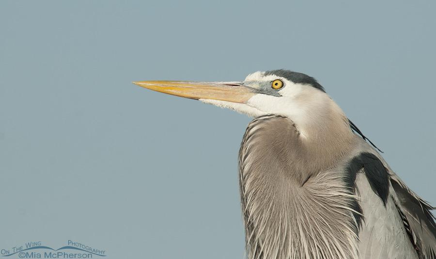Calm Great Blue Heron with an eye on the sky