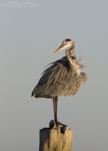 An old stump and a Great Blue Heron