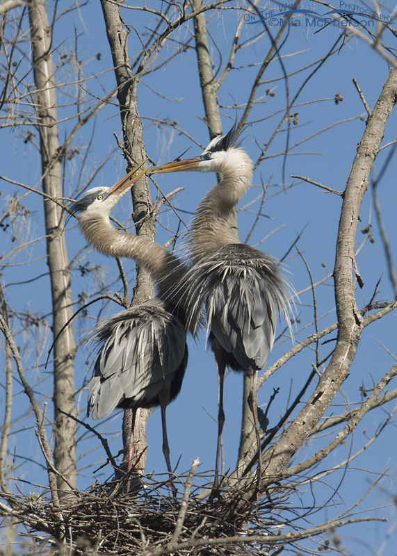 Great Blue Herons squabbling at their nest