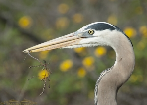 A Great Blue heron with nesting materials and yellow flowers in the distance