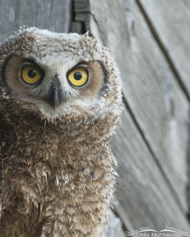 Portrait of a fledgling Great Horned Owl