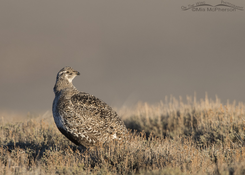 Female Greater Sage-Grouse at sunrise