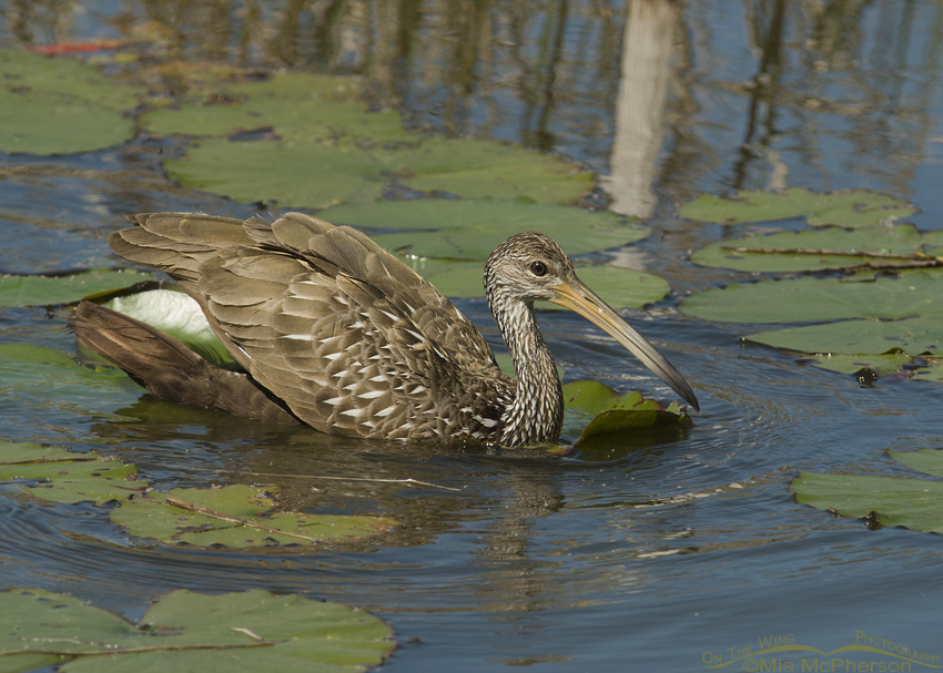 Limpkin in lily pads