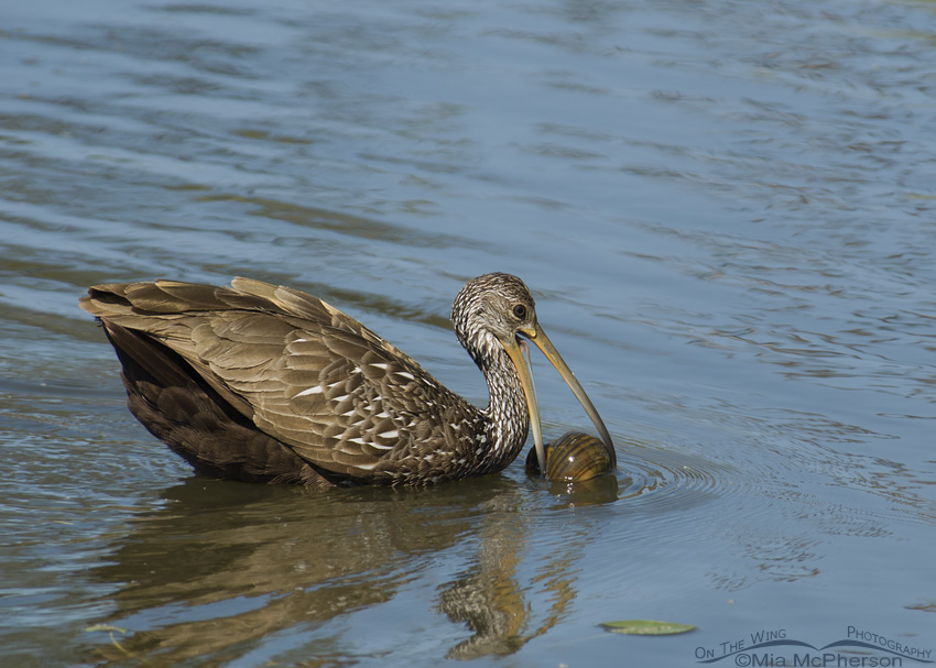 Limpkin and an Apple Snail