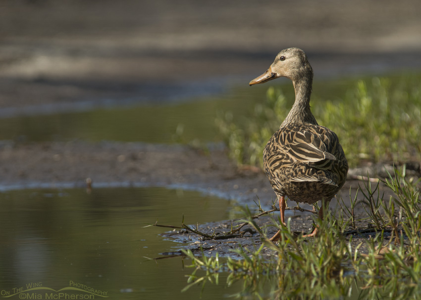 Mottled Duck in a rain filled rut in a trail
