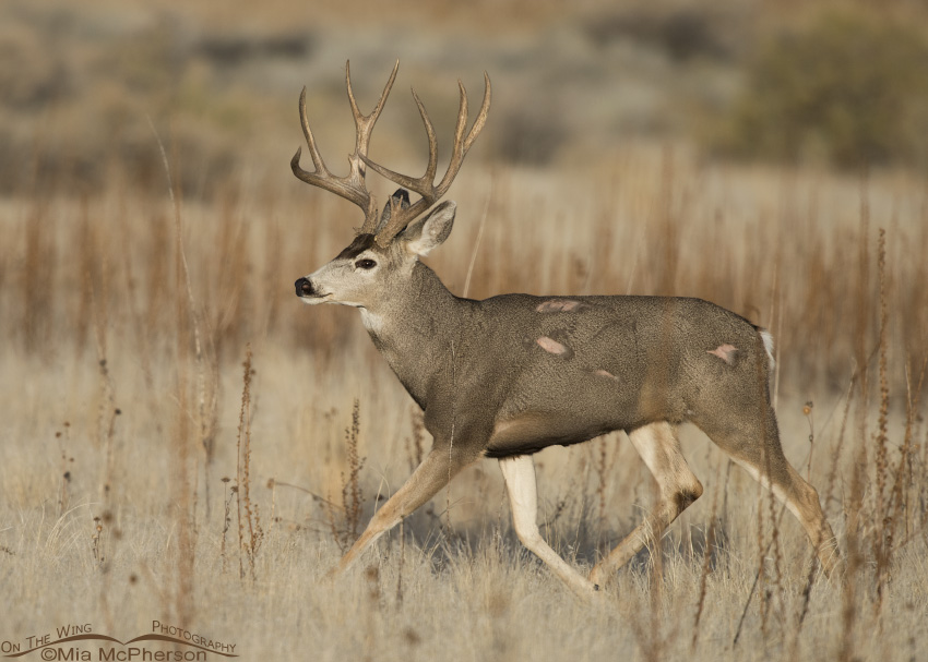 A Mule Deer buck and his battle scars