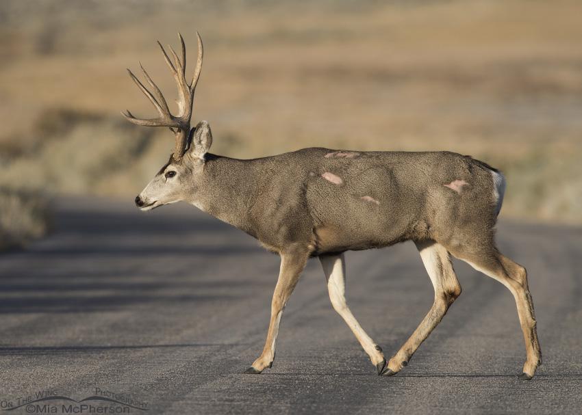 A battle scarred Mule Deer buck