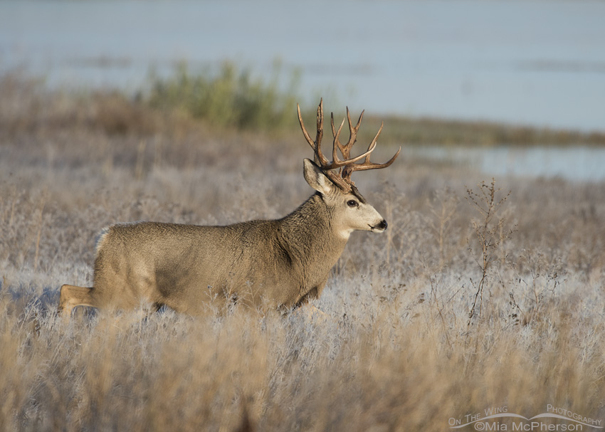 Mule Deer buck in a marsh