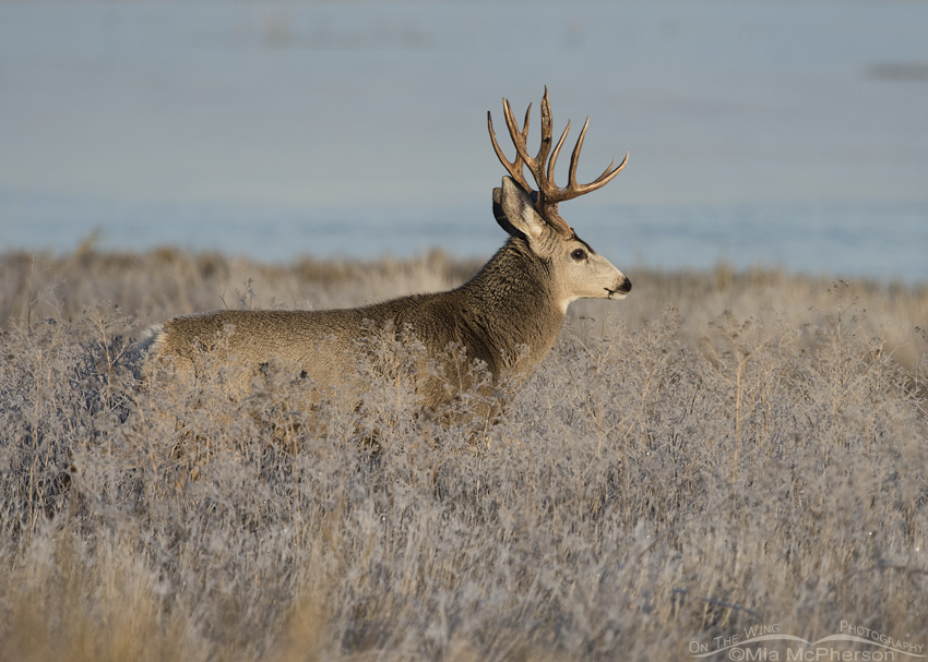 A handsome Mule Deer on a frosty November morning