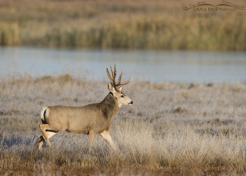 A Mule Deer buck following a doe