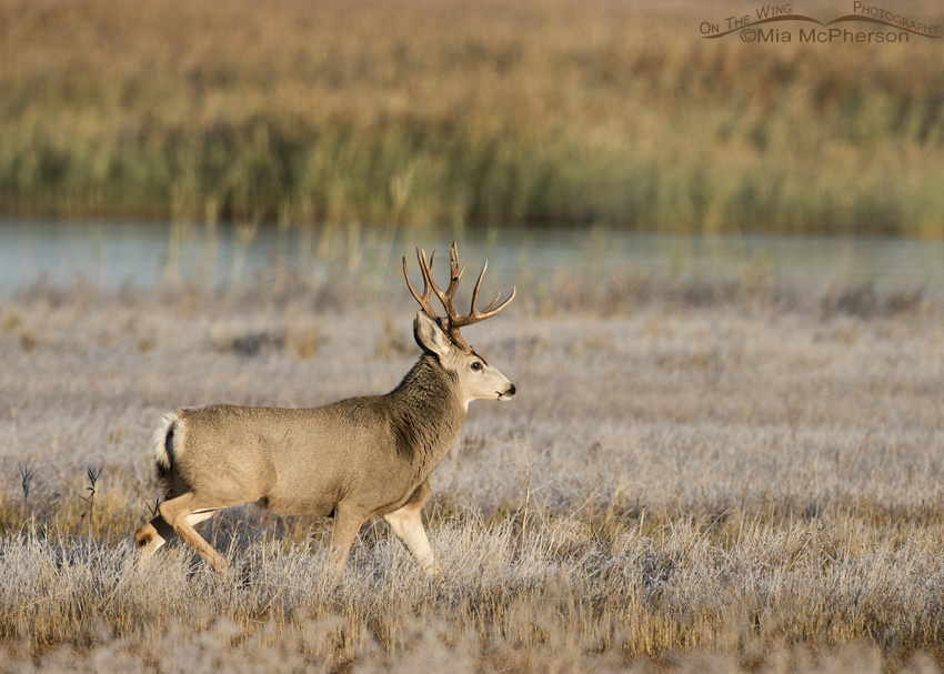 A marsh and a Mule Deer buck