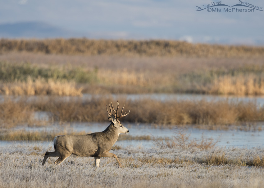 Mule Deer in a marsh