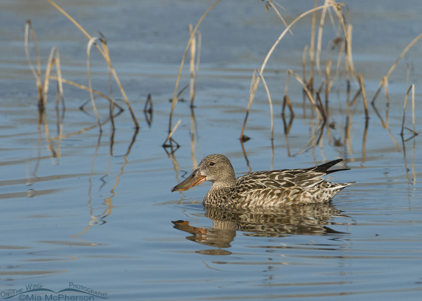 Northern Shoveler hen on a small pond