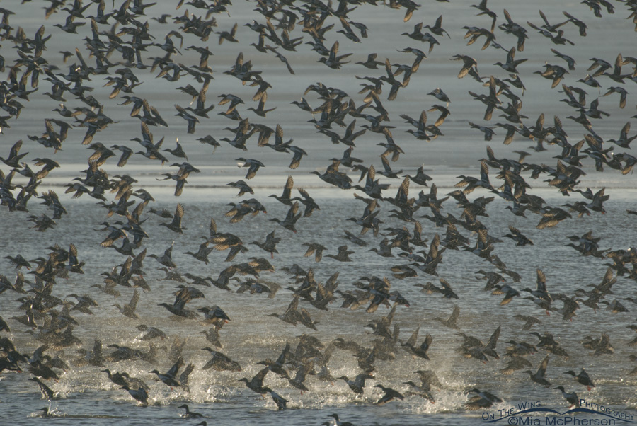 Northern Shovelers blasting off because of an eagle flyby