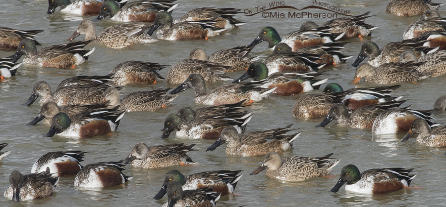 A flock of Northern Shovelers feeding on the Great Salt Lake