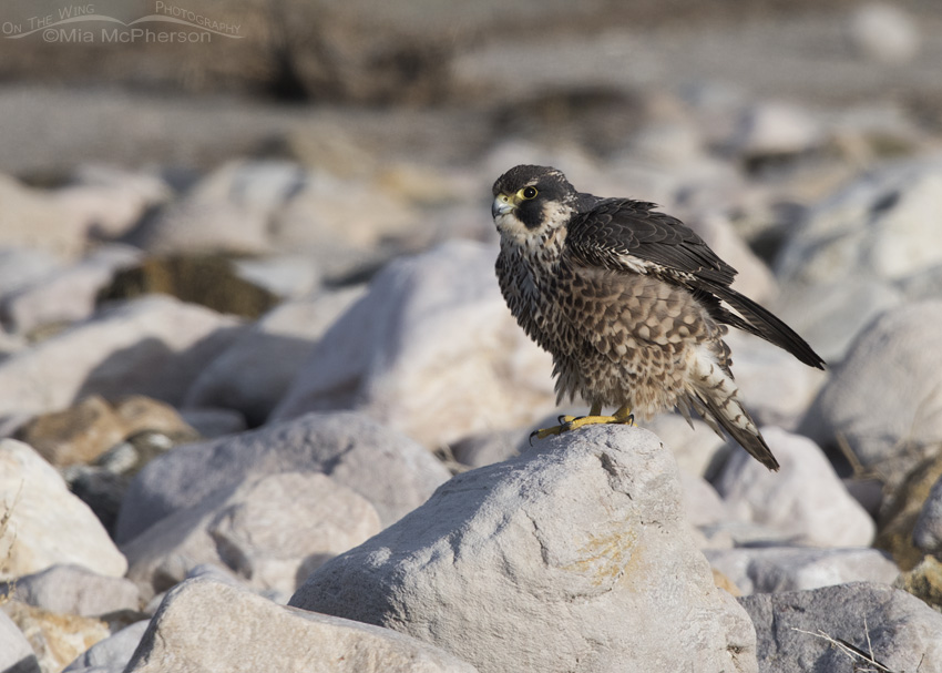 An immature Peregrine Falcon rousing