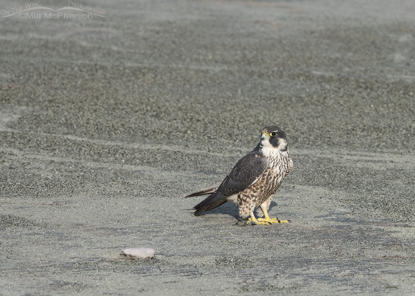 Juvenile Peregrine Falcon on the playa of the Great Salt Lake