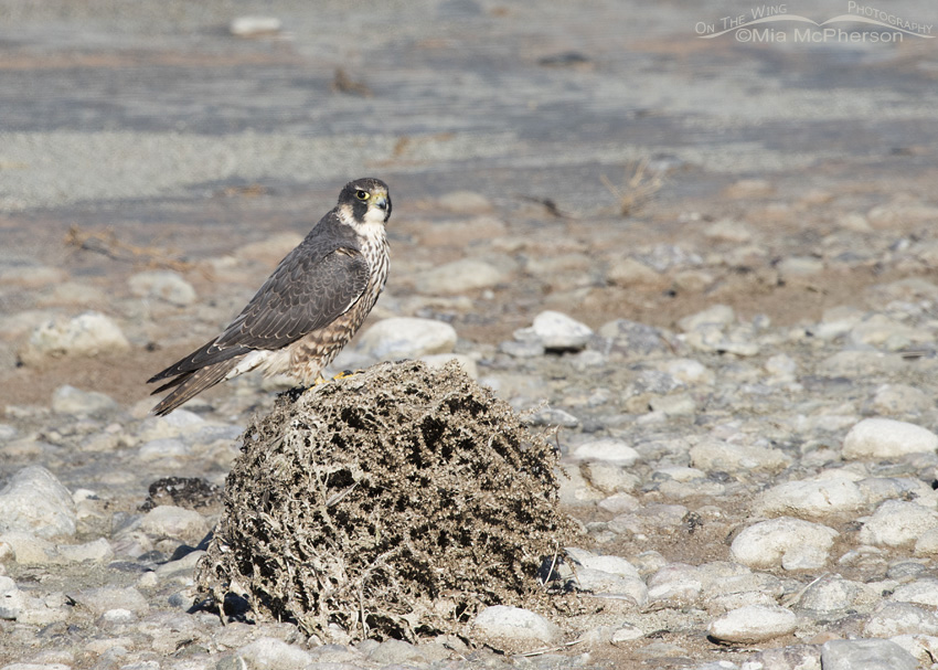 The Tumbleweed and a Peregrine Falcon