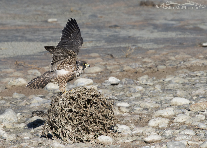 A Peregrine Falcon fluttering its wings on a tumbleweed
