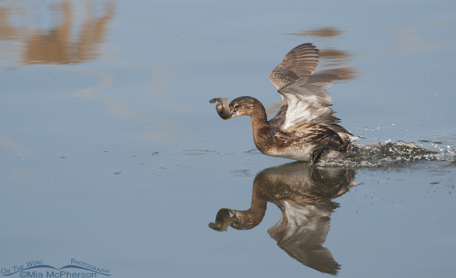 A Pied-billed Grebe with prey being chase over a pond