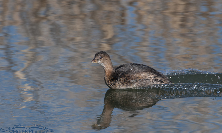 A Pied-billed Grebe and its wake