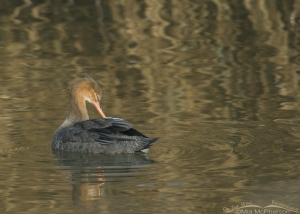 Back view of Red-breasted Merganser preening