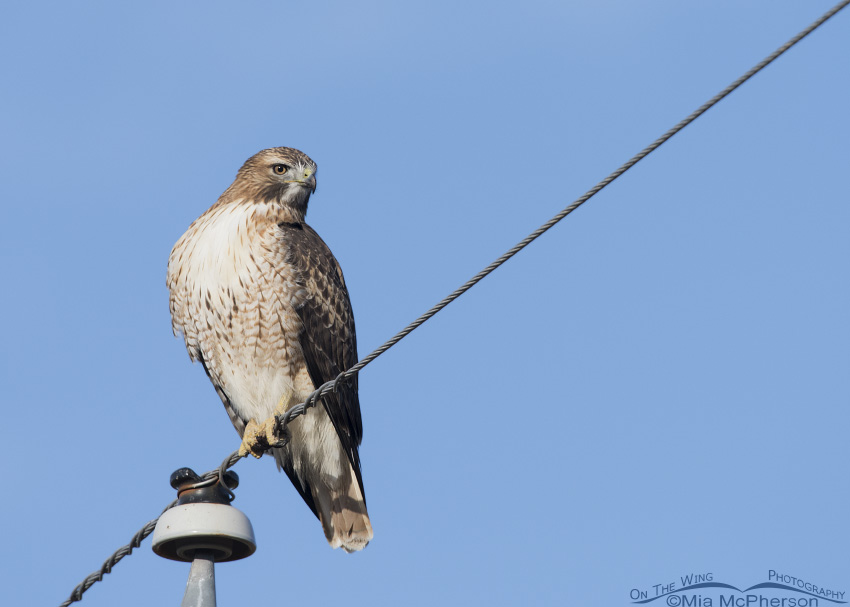 Adult Red-tailed Hawk perched on a wire