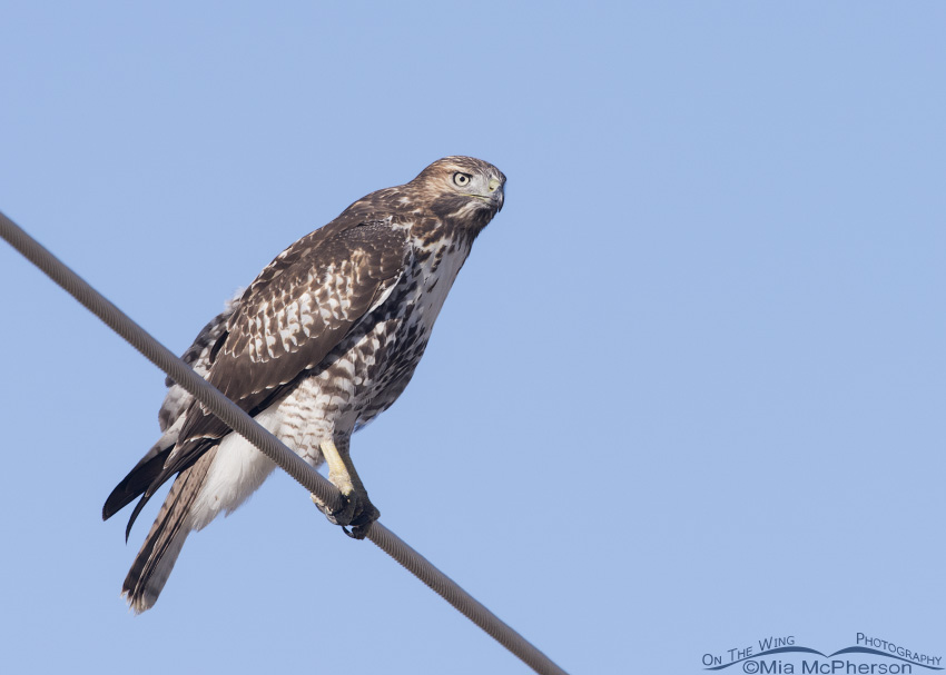 Juvenile Red-tailed Hawk perched on a wire